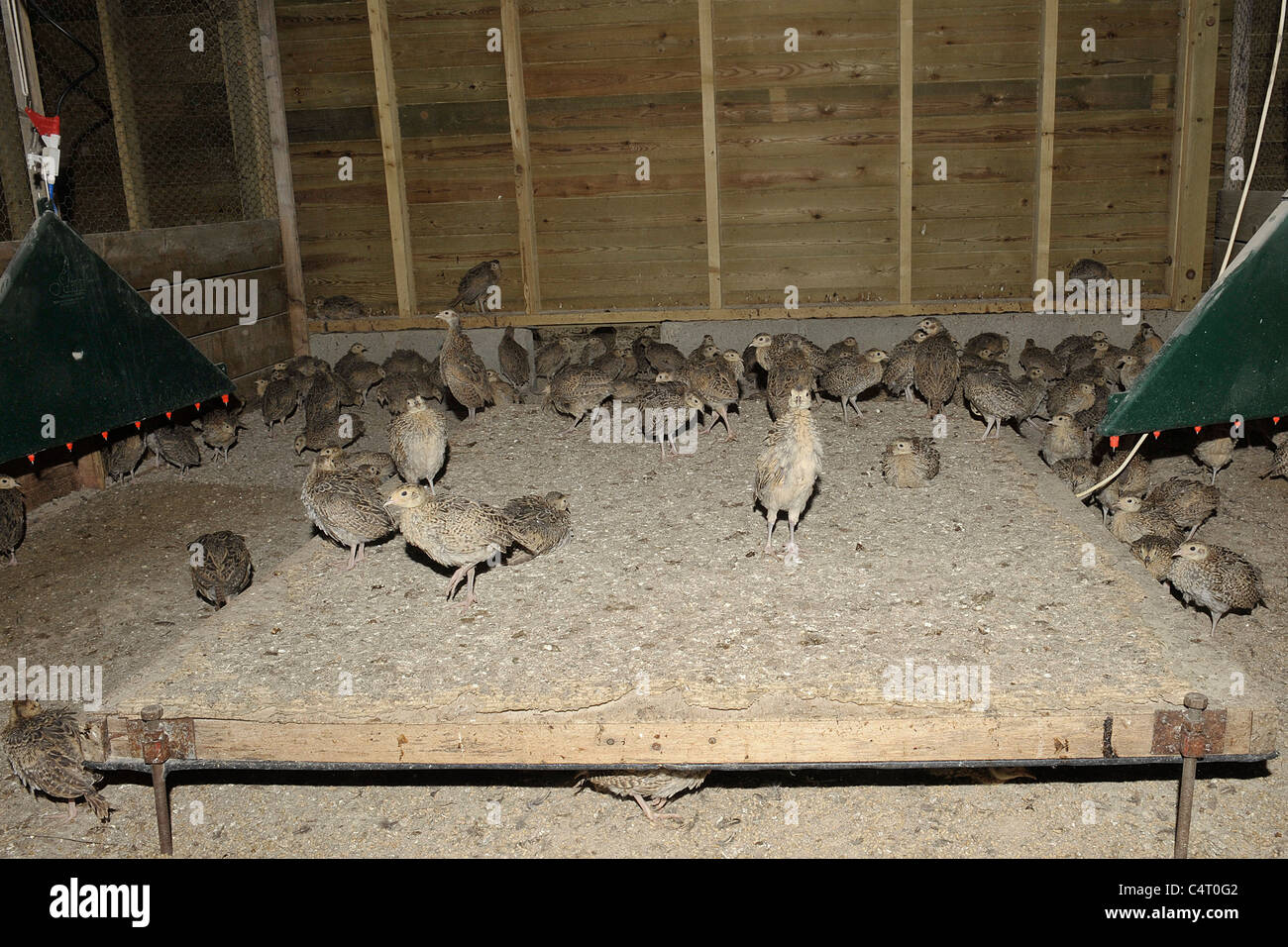 pheasant chicks, in a rearing shed - Stock Image