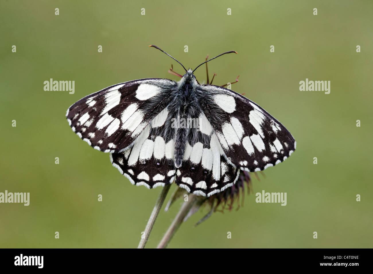 Marbled white, Melanargia galathea, single insect, Midlands, June 2011 - Stock Image