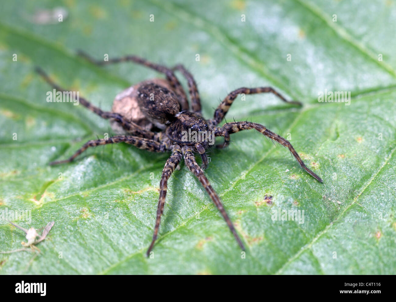 Female Wolf Spider Pardosa spp - Stock Image