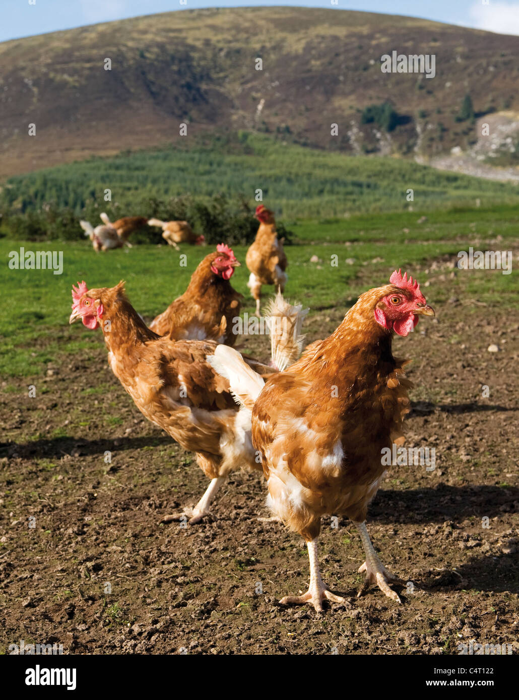 Free range hens below Criffel Scoltand field farm farming agriculture Scotland UK - Stock Image