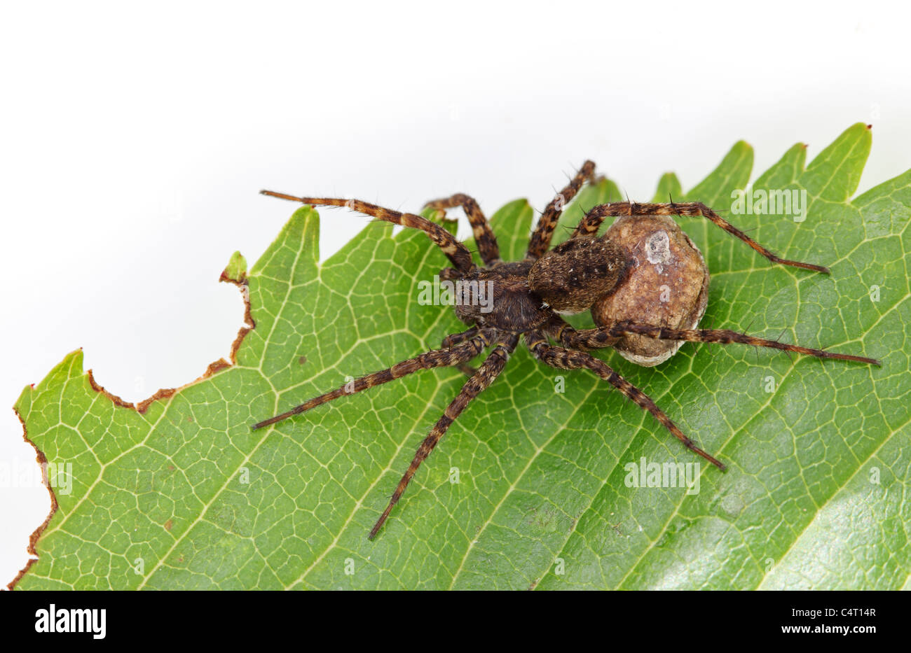 Female Wolf Spider Pardosa Sp With Egg Sac - Stock Image