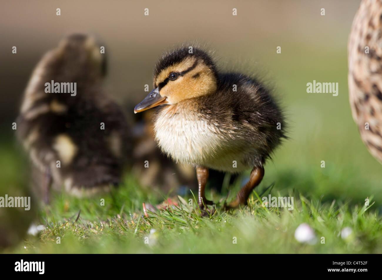 Mallard; Anas platyrhynchos; duckling Stock Photo