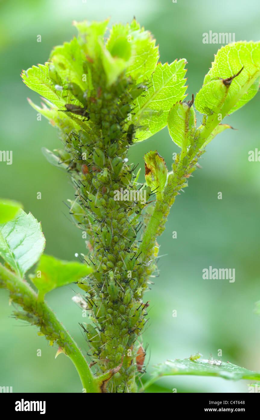 Greenfly aphids on rose shoot. Sussex, UK. June. - Stock Image