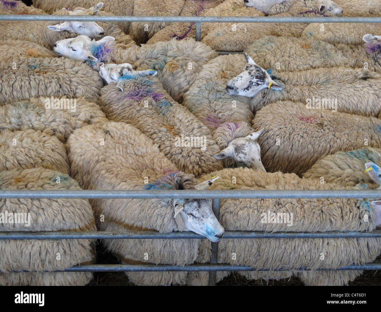 Sheep packed tightly into a pen at the weekly Melton Mowbray cattle market, Leicestershire, England. - Stock Image