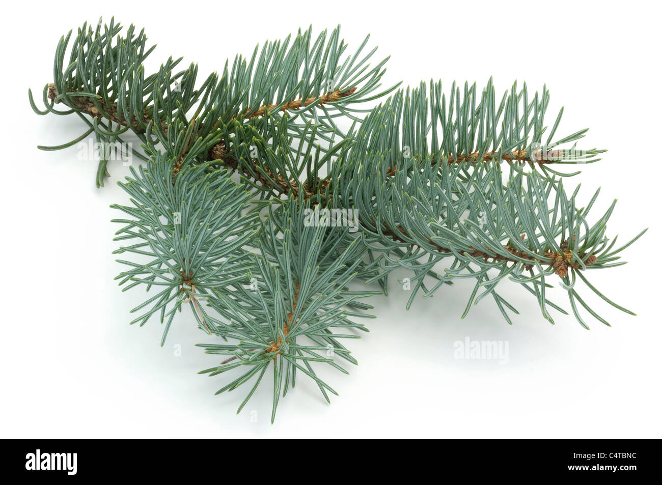 Blue Spruce (Picea pungens Glauca Globosa), twig. Studio picture against a white background. - Stock Image