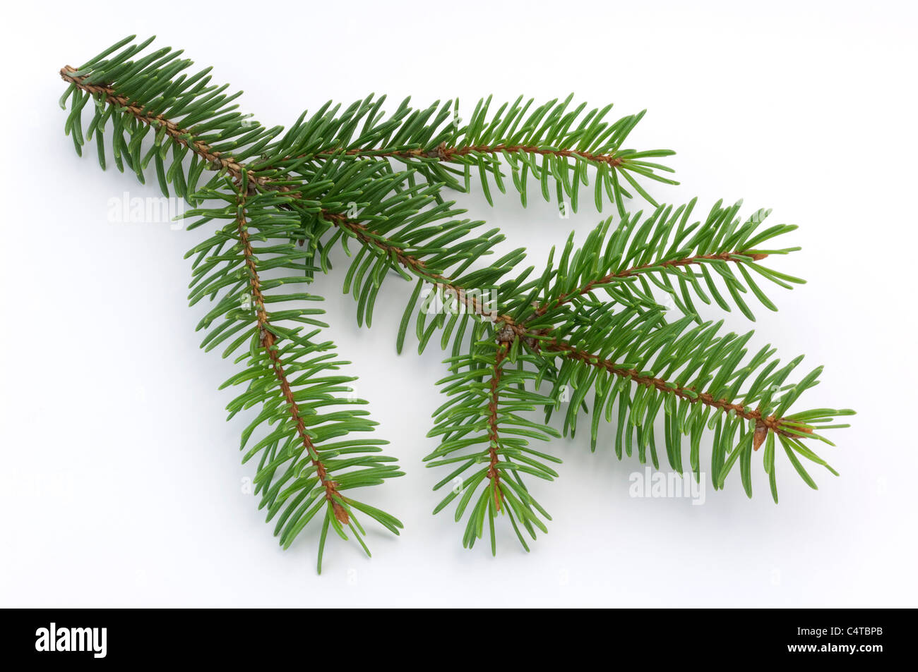 Blue Spruce (Picea pungens), twig. Studio picture against a white background. - Stock Image