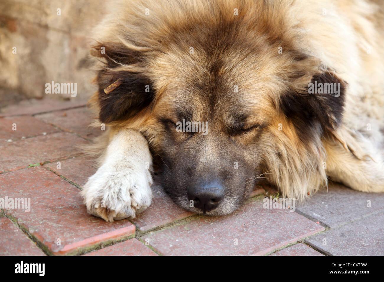 Cute dog sleeping on the sidewalk - Stock Image