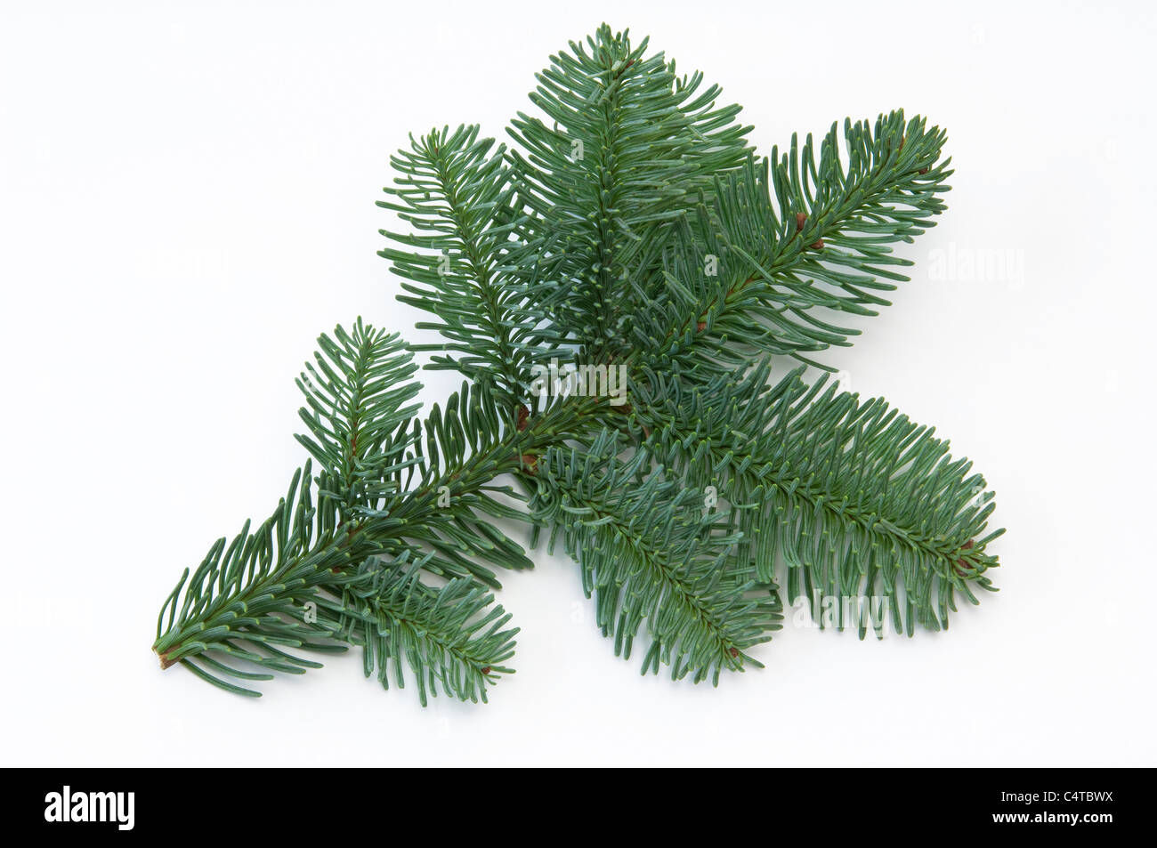 Noble Fir (Abies procera, Abies nobilis), twig. Studio shot against a white background. - Stock Image