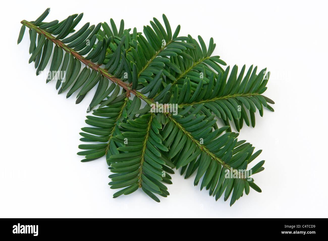 Yew (Taxus media Nidiformis), twig. Studio shot against a white background. - Stock Image