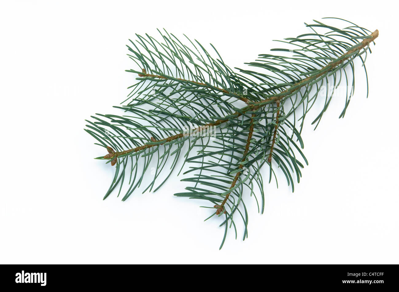 Colorado Fir, White Fir (Abies concolor), twig. Studio shot against a white background. - Stock Image