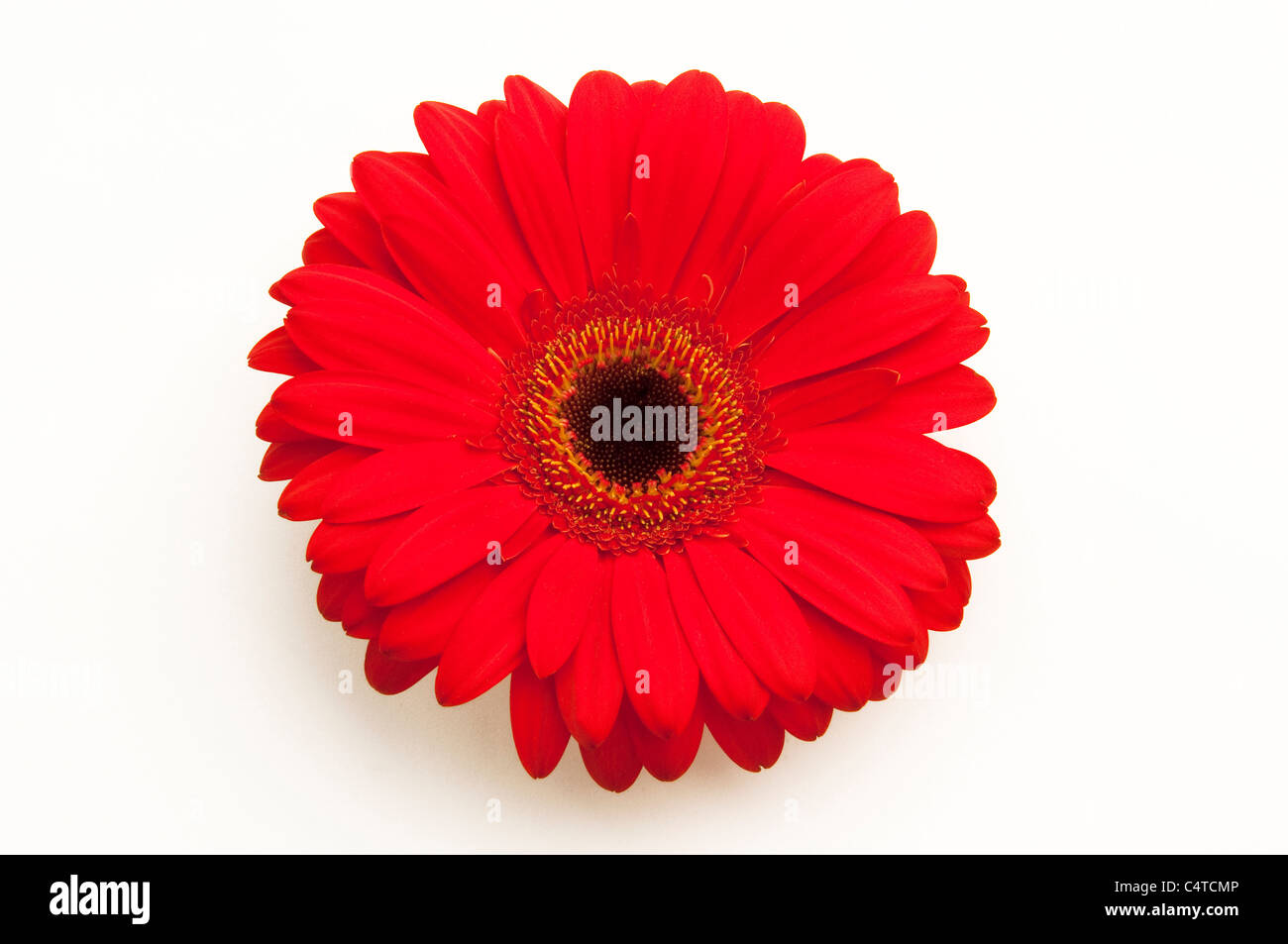 Barberton Daisy, Gerbera, Transvaal Daisy (Gerbera hybrid), red flower. Studio picture against a white background. - Stock Image