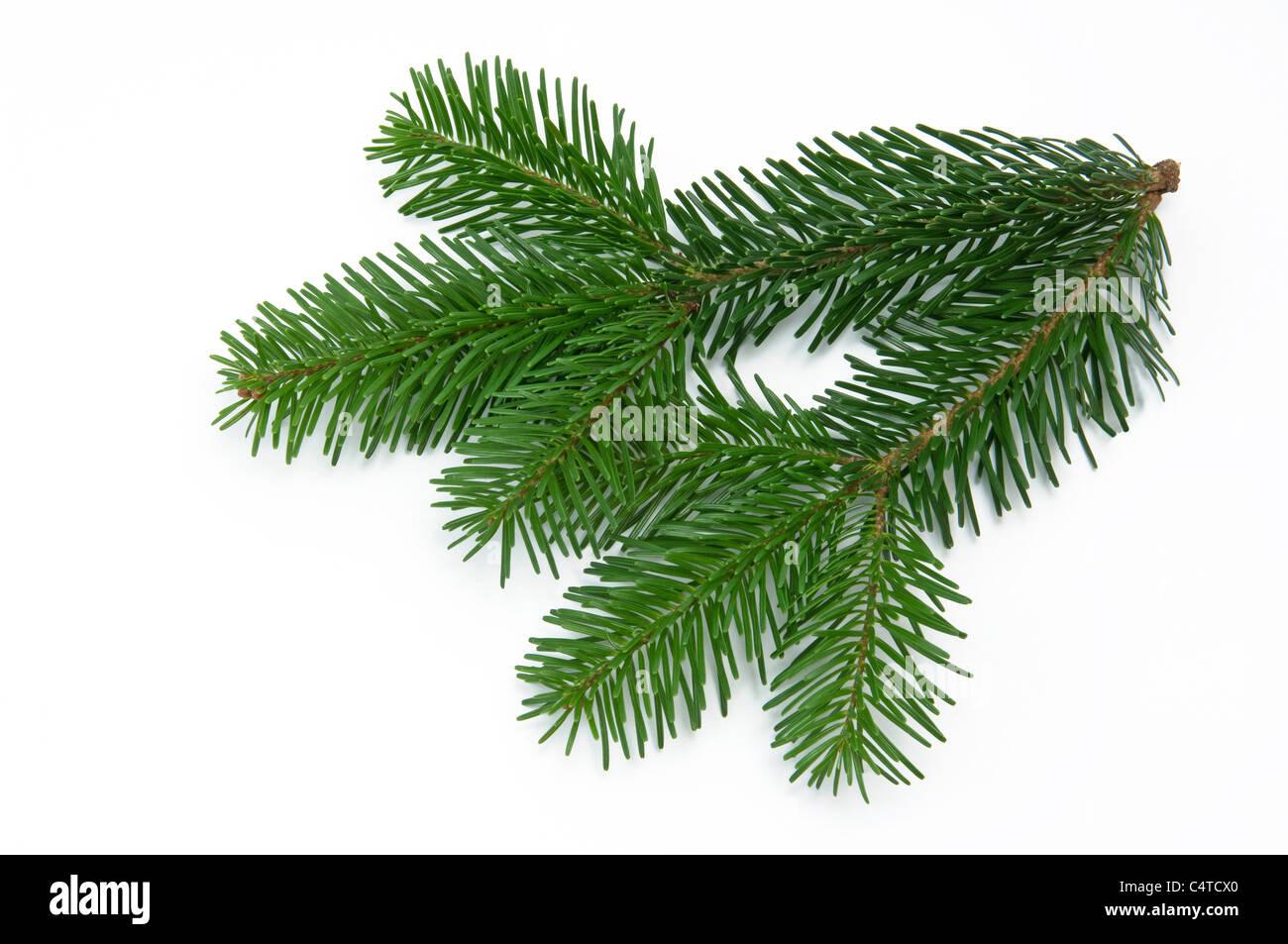 Caucasian Fir, Nordmann Fir (Abies nordmanniana), twig. Studio picture against a white background. - Stock Image
