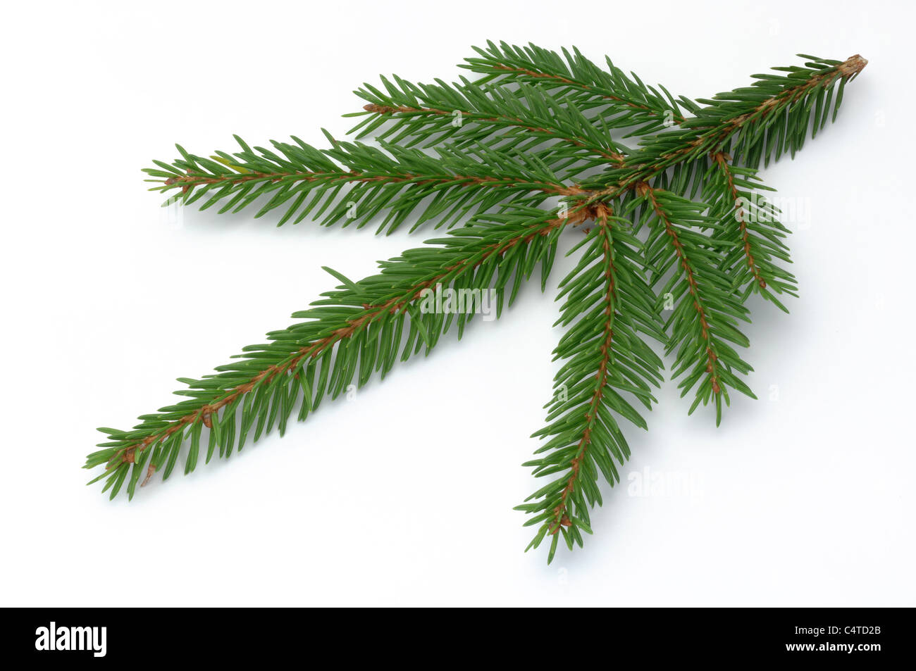 Common Spruce, Norway Spruce (Picea abies), twig. Studio picture against a white background. - Stock Image