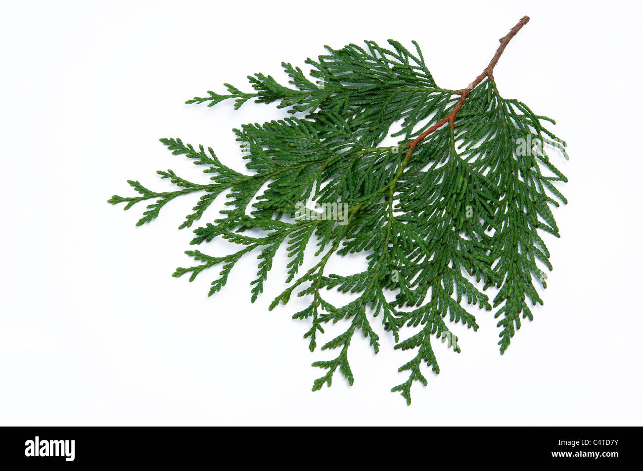 Western Red Cedar (Thuja plicata Excelsa), twig. Studio picture against a white background. - Stock Image