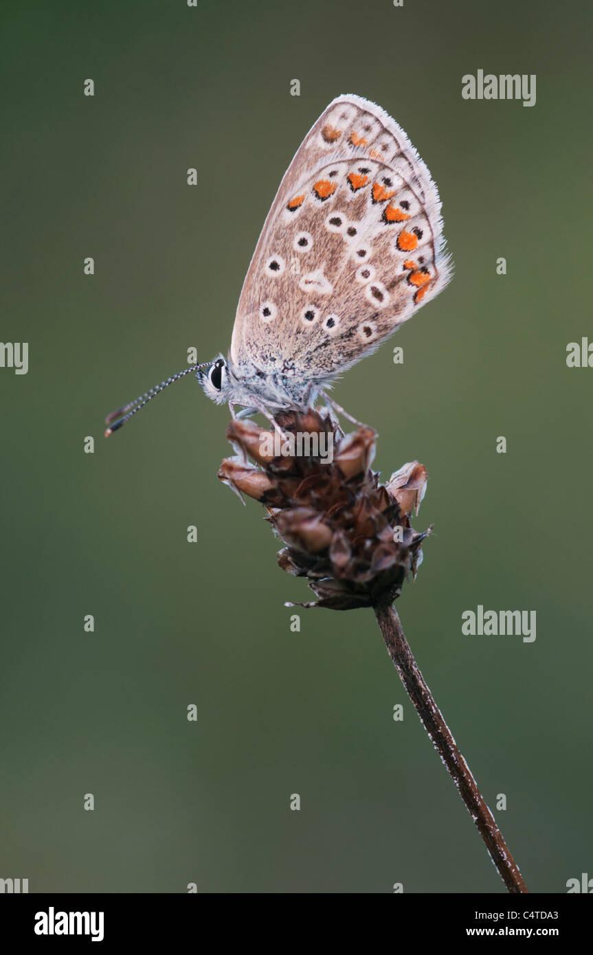 Chalkhill Blue (Lysandra coridon), Kent, England, August - Stock Image