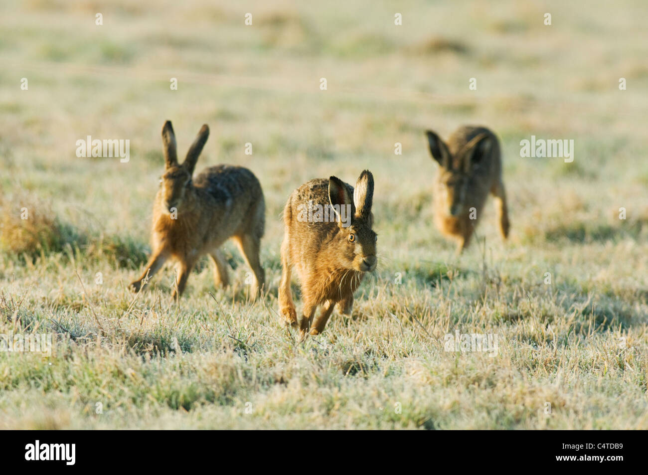 European Hare, Lepus europaeus, chasing, frost covered grass, Kent, England, February. - Stock Image