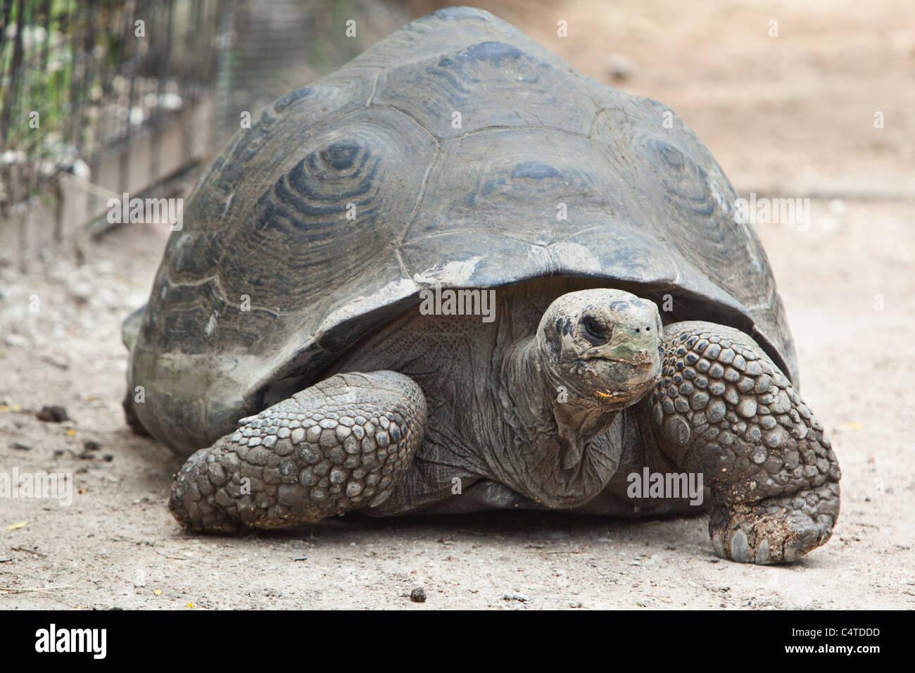Giant tortoise at the Austin Zoo - Austin, Texas Stock Photo