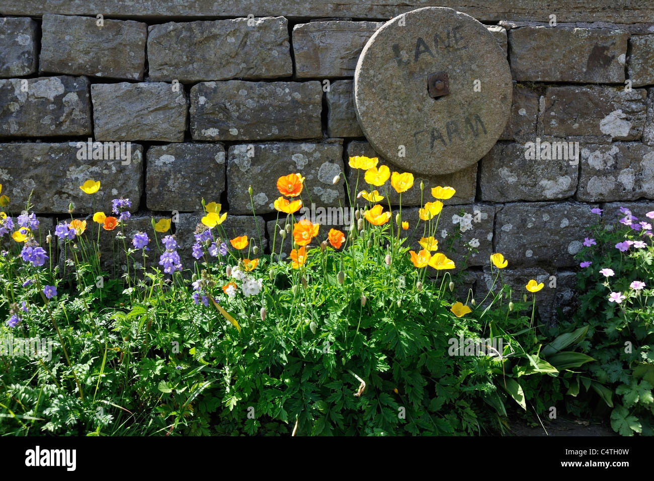 Summer flowers against a drystone wall in Muker, Swaledale, Yorkshire, England - Stock Image