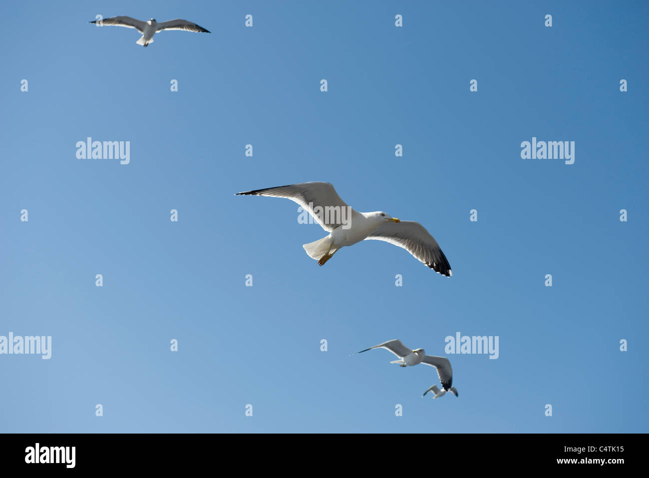 Gulls in flight - Stock Image