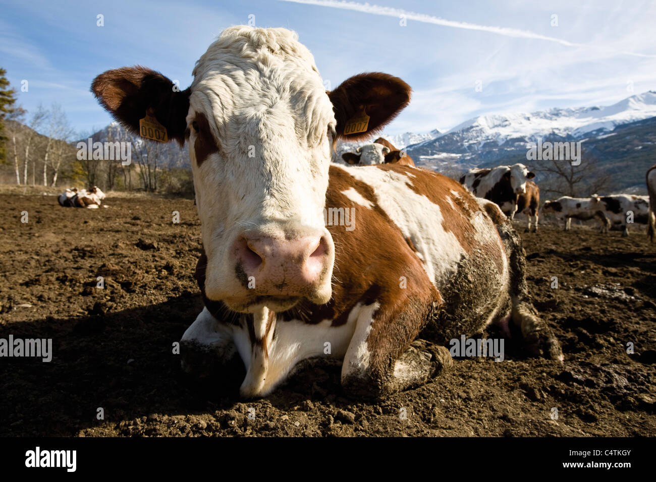 Cow lying down, mountains in background - Stock Image