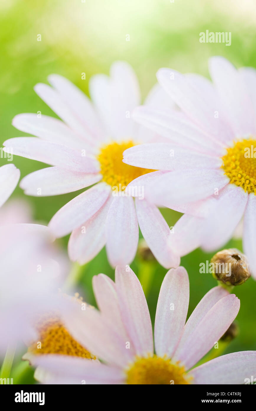 Oxeye daisies (Leucanthemum vulgare) - Stock Image
