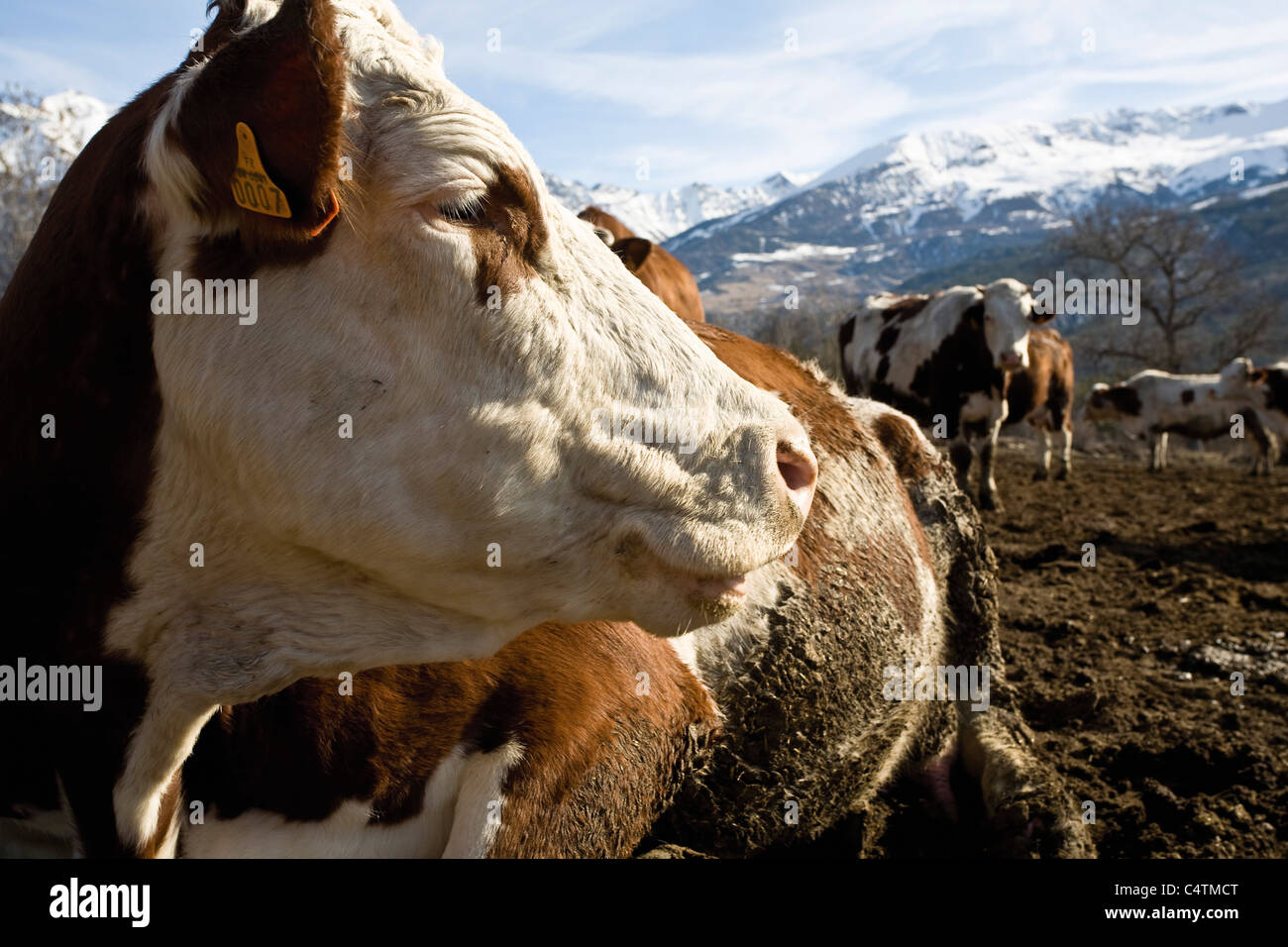 Cow looking away - Stock Image