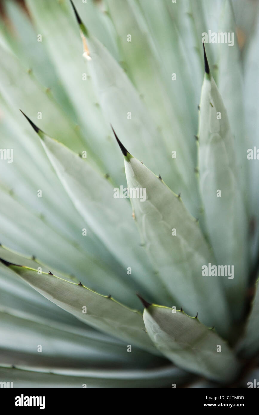 Agave plant, close-up - Stock Image