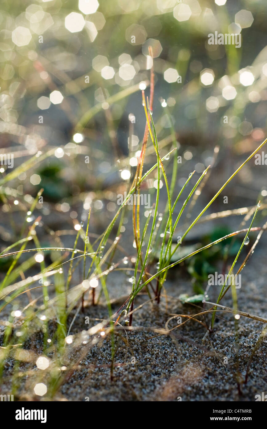 Morning dew in grass - Stock Image