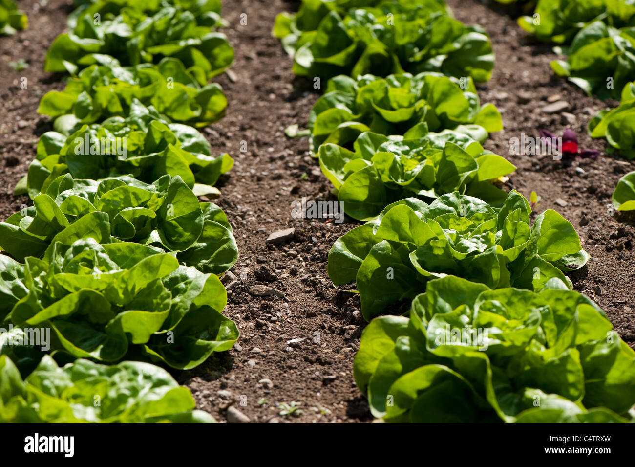 Lettuce 'All The Year Round' - Stock Image