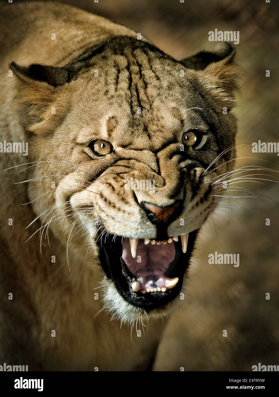 LIONESS CLOSEUP WITH MENACING SNARL LOOKING AT CAMERA - Stock Image