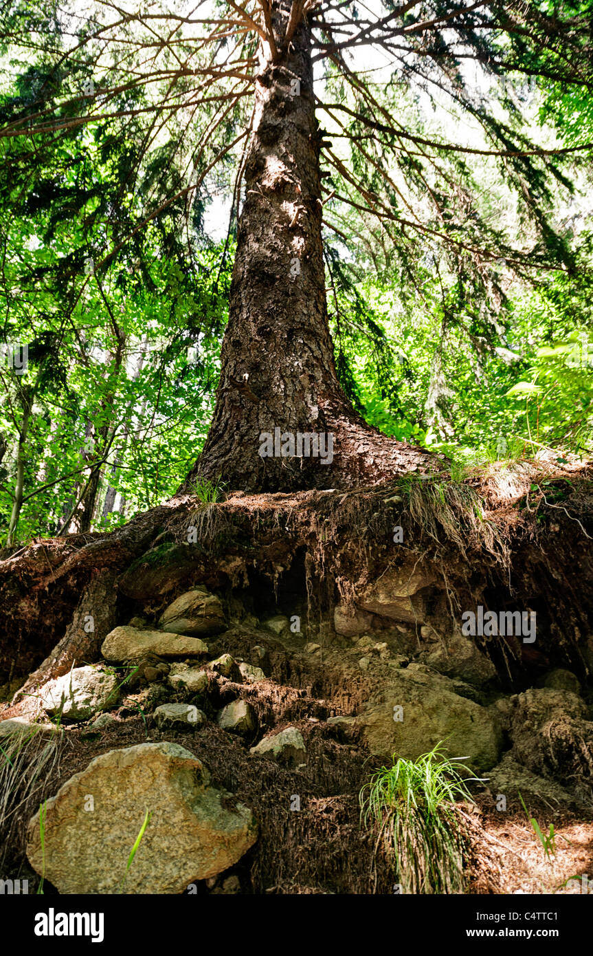 big norway spruce in the forest - Stock Image