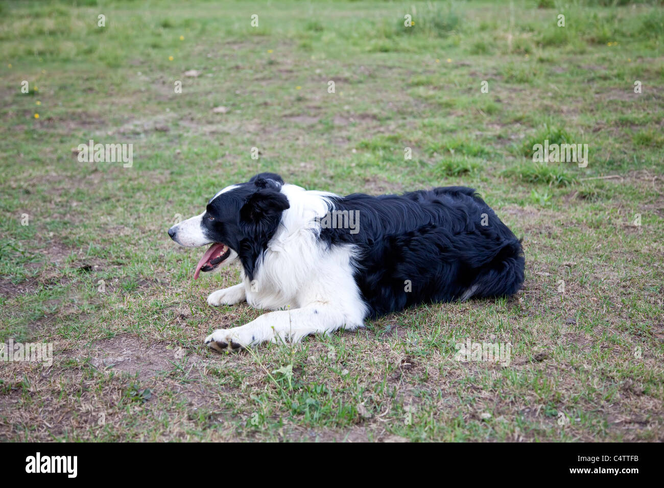 Border Collie dog black and white lying down in a field tongue out - Stock Image