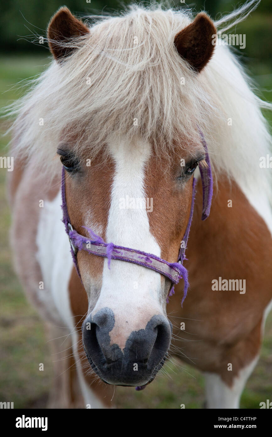Close up headshot of a brown and white pony Equus ferus caballus - Stock Image