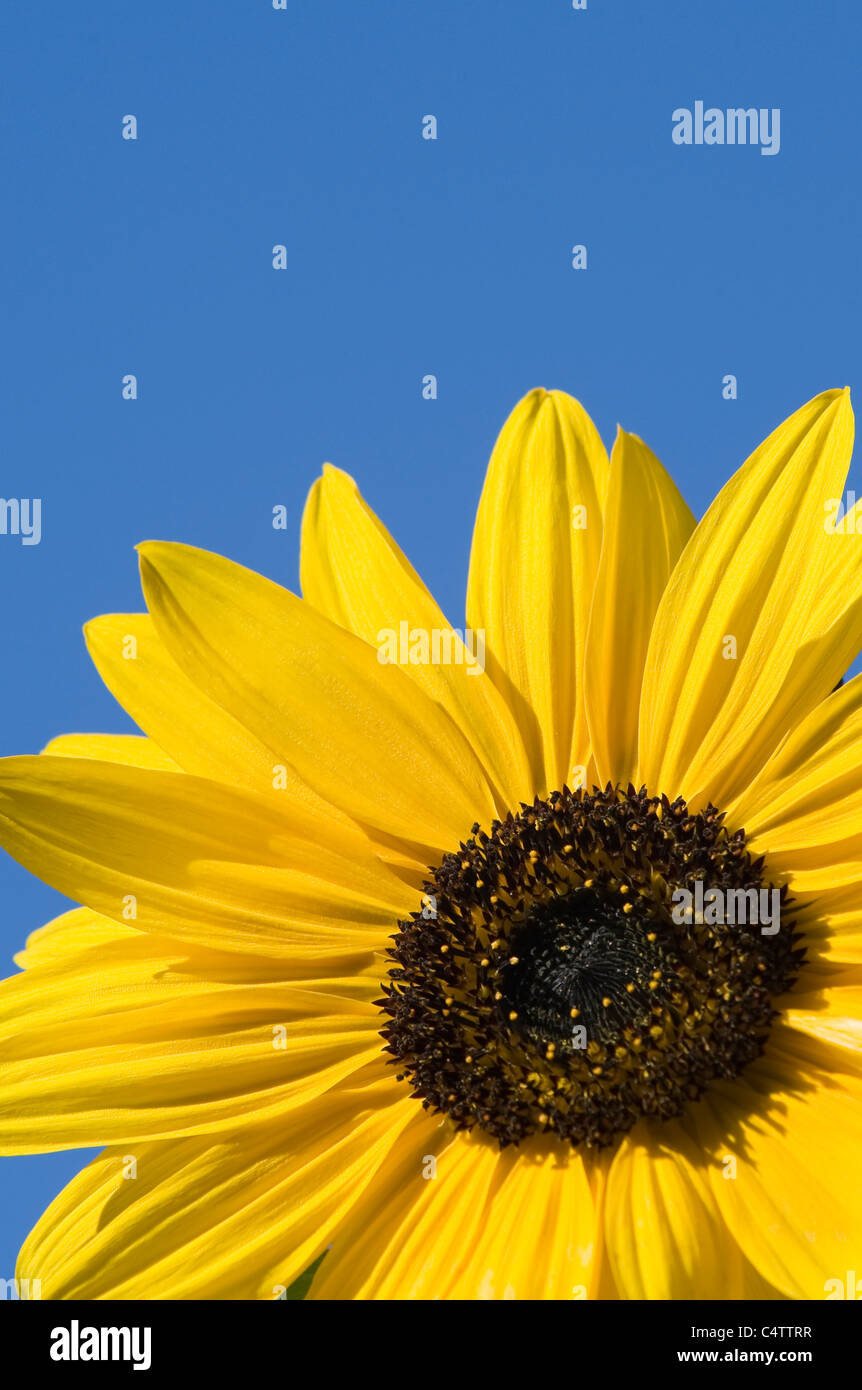 Close-up, detail of a sunflower (Helianthus Annus) head, lit by bright sunlight against a clear blue sky - Yorkshire, - Stock Image
