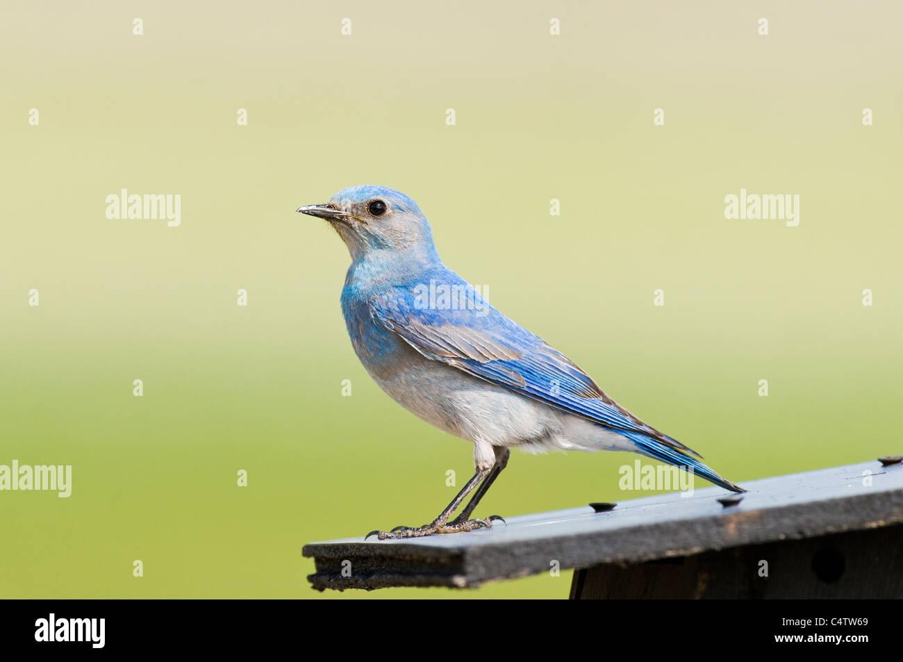 Male mountain bluebird (Sialia currucoides) on top of birdhouse - Stock Image