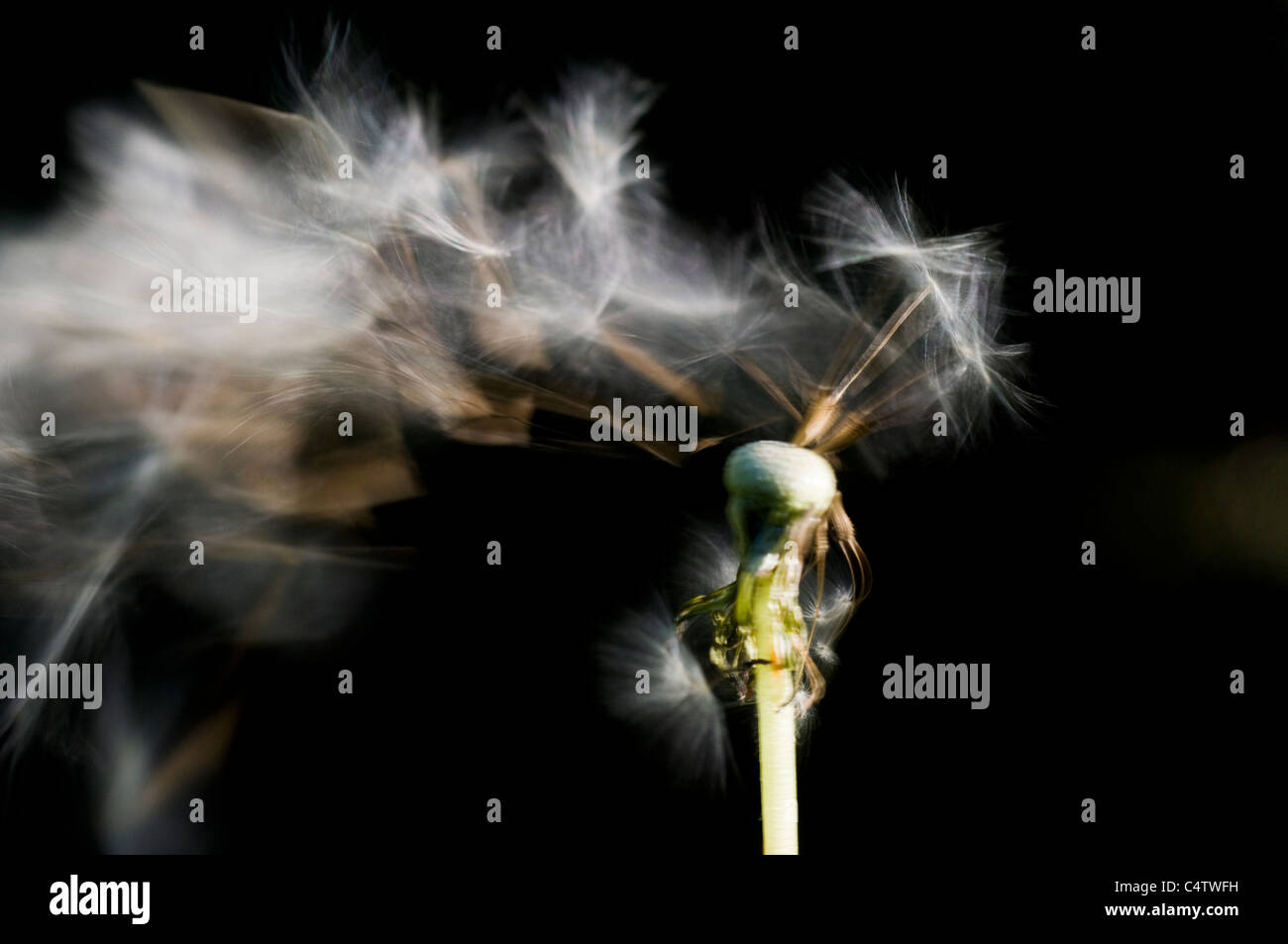 Wind blowing seeds off of dandelion seedhead (Taraxacum officinale) - Stock Image