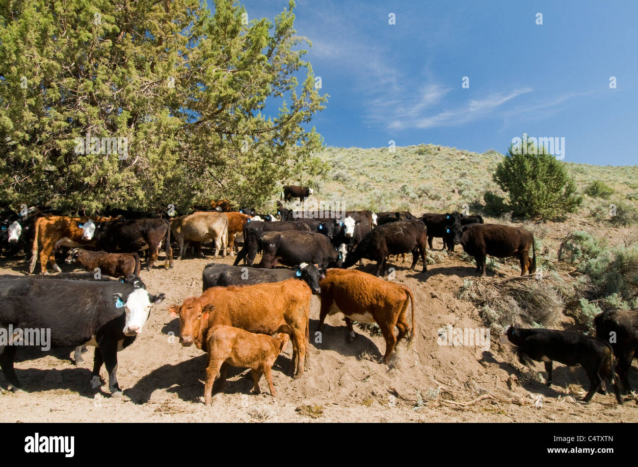 Cattle overgrazing on public lands administered by the Bureau of Land Management in SW Idaho - Stock Image
