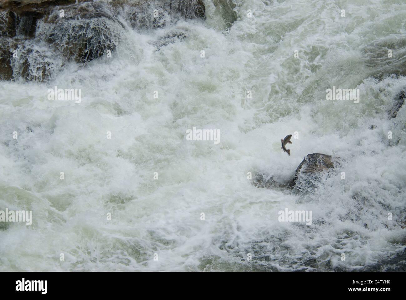 Chinook salmon jumping waterfall - Stock Image