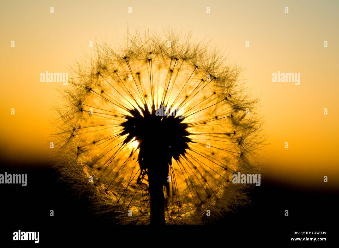 Dandelion seedhead (Taraxacum officinale) at sunset - Stock Image