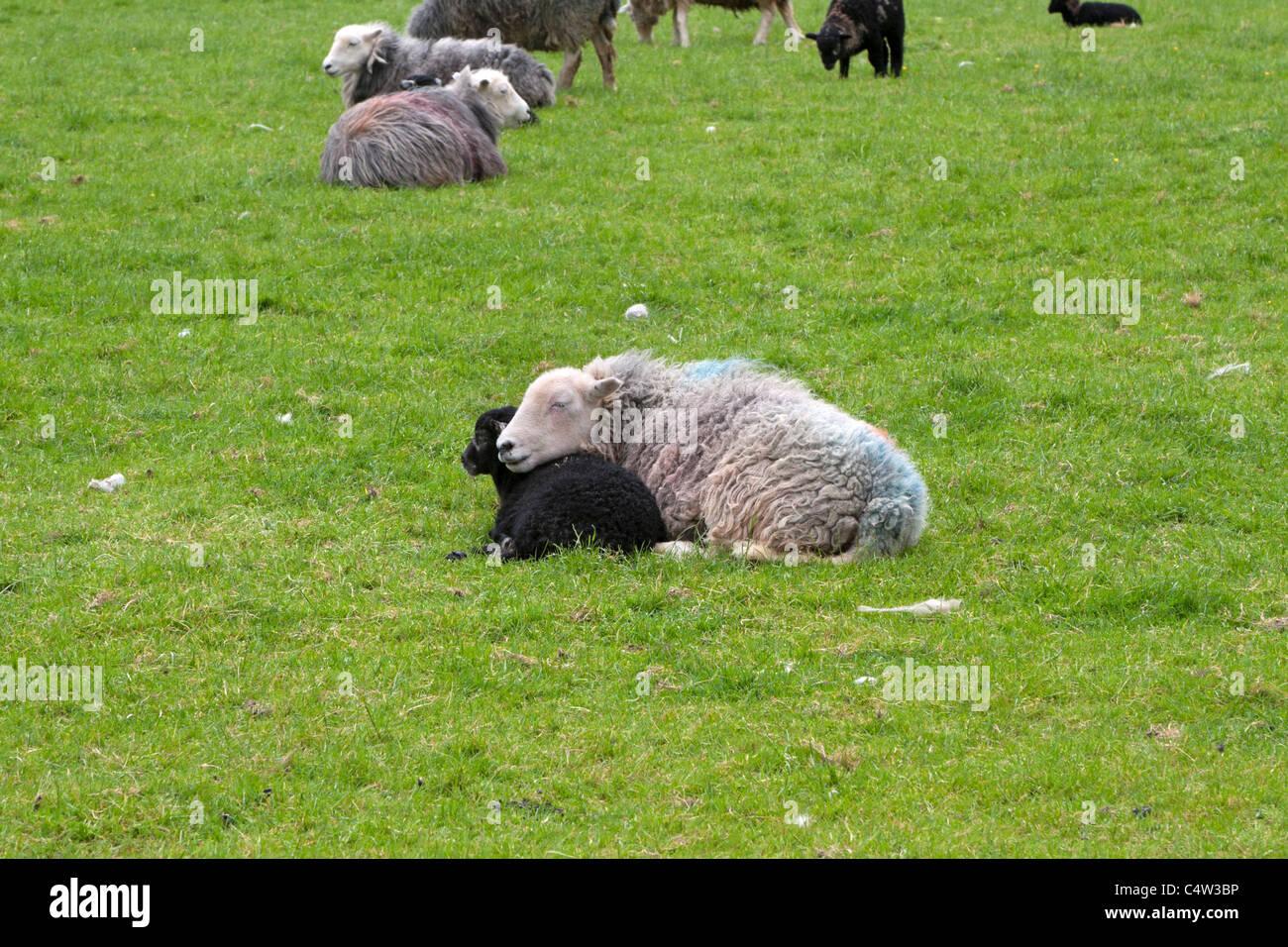 Herdwick sheep, Cumbria. Ewe resting her chin on her lamb. - Stock Image