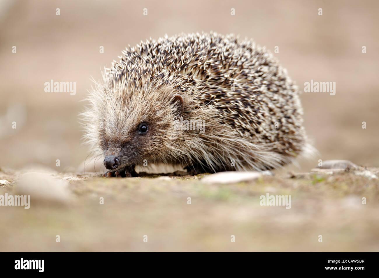 Hedgehog, Erinaceus europaeus, single mammal, Midlands, June 2011 - Stock Image