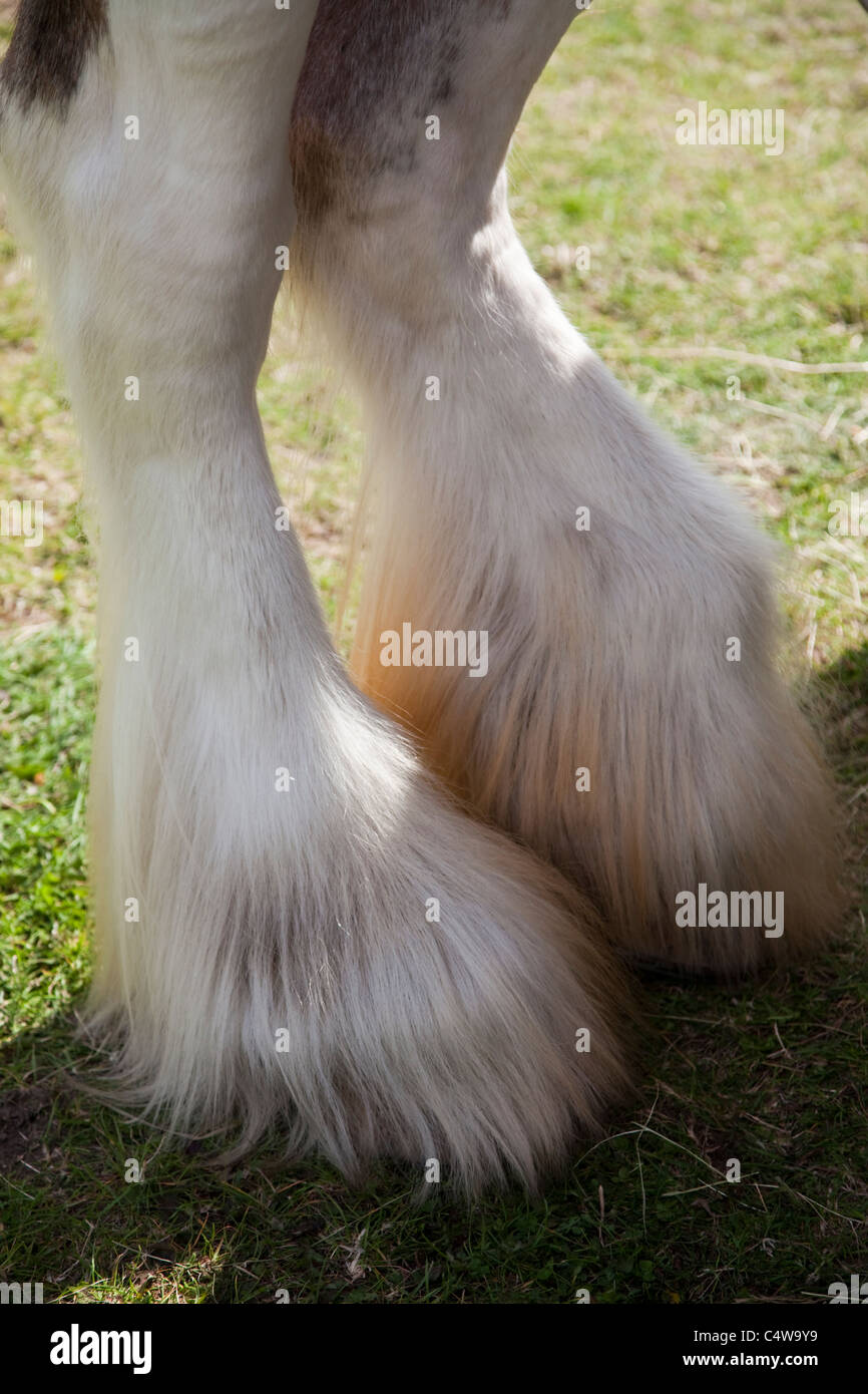 close up of a shire horses feet/hooves at Cromer carnival Norfolk East Anglia - Stock Image