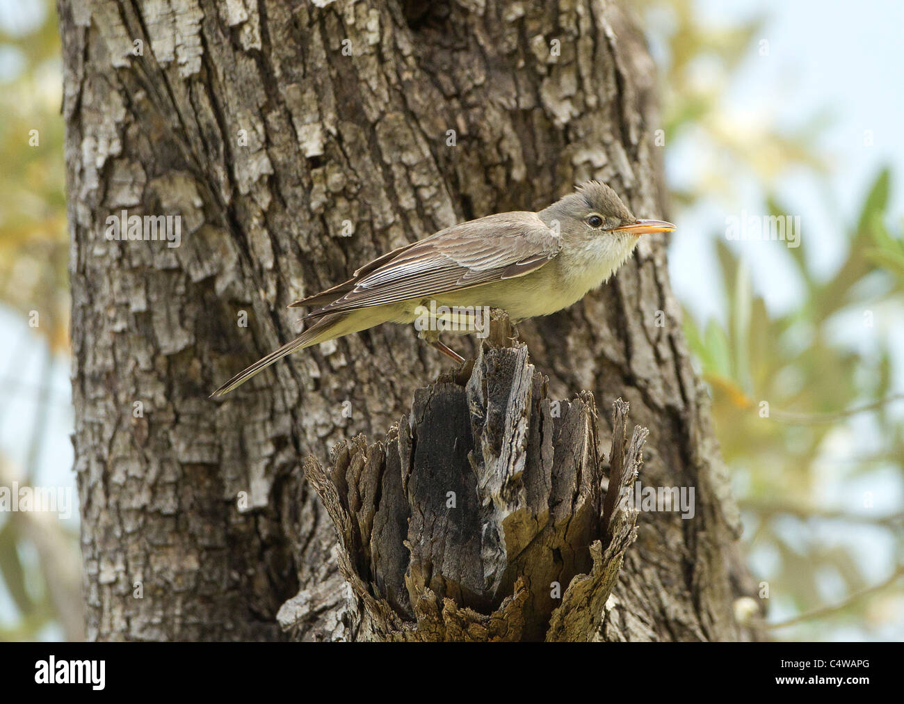 Olive tree Warbler Hippolais olivetorum on territory in olive grove Southern Turkey May Stock Photo