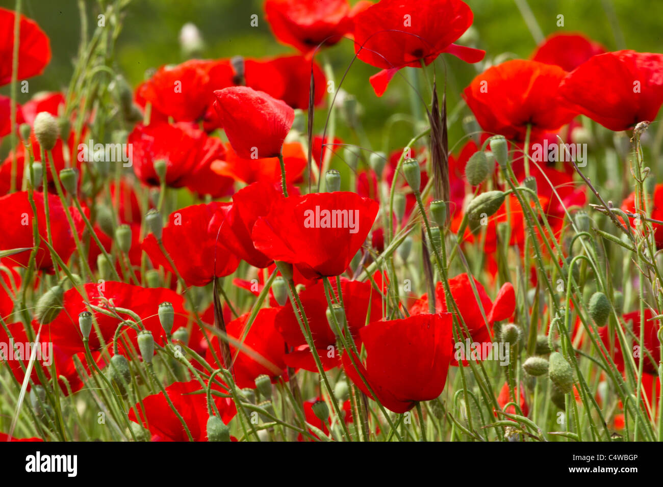 Red Poppies in full bloom - Stock Image