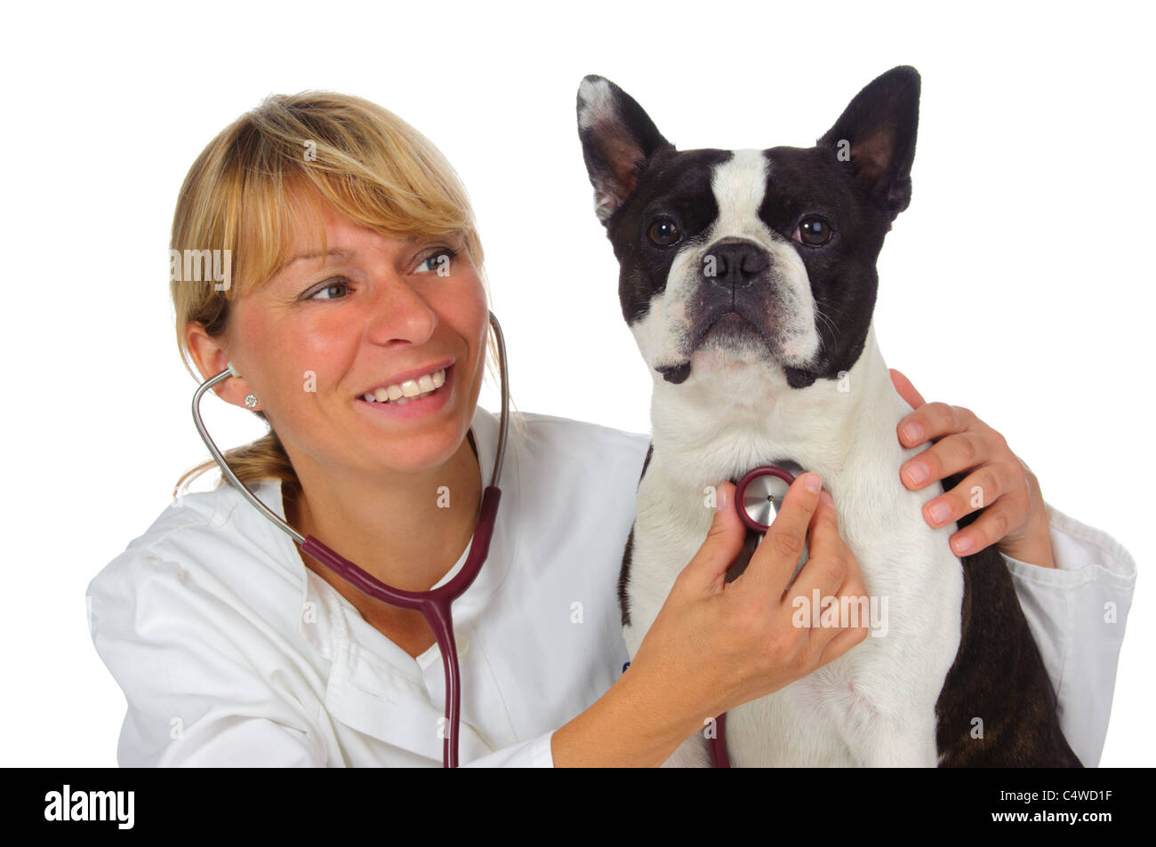 female vet doctor with dog boston terrier - Stock Image