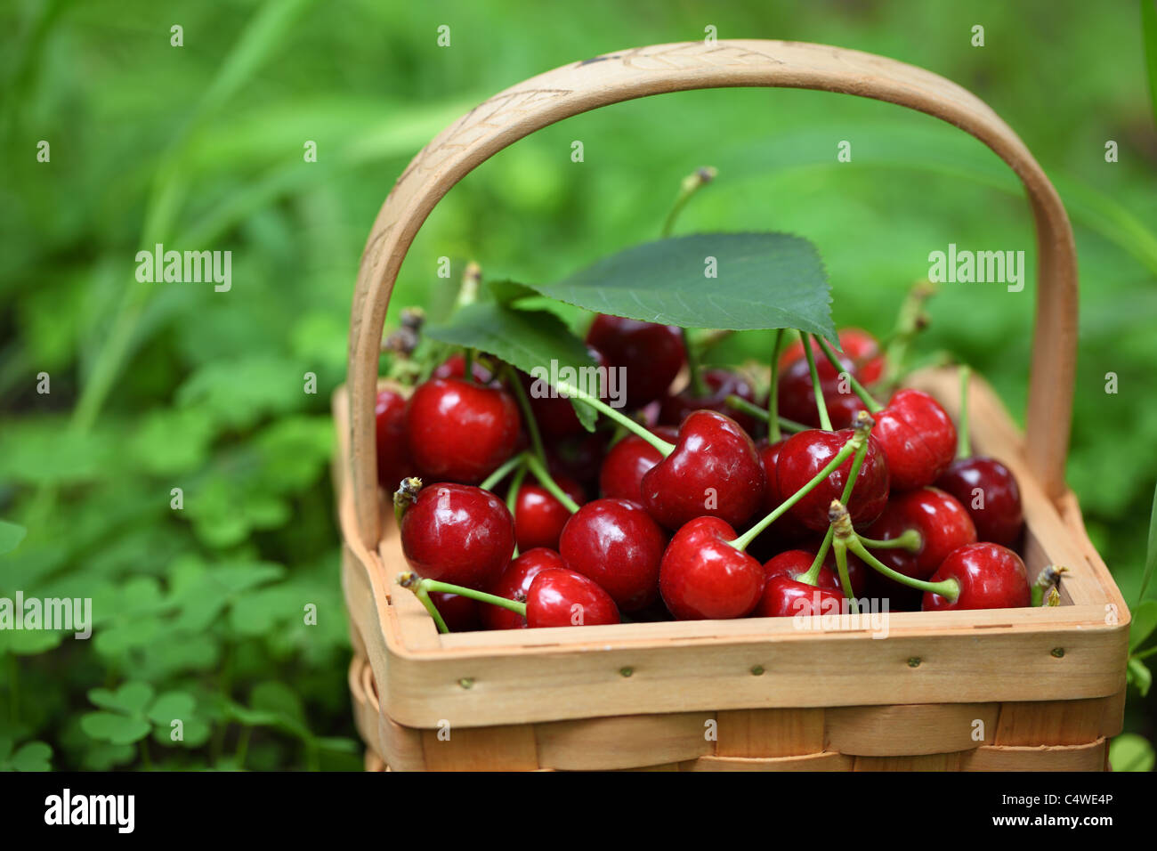 Basket of fresh red cherries on meadow ,Shallow Dof. - Stock Image