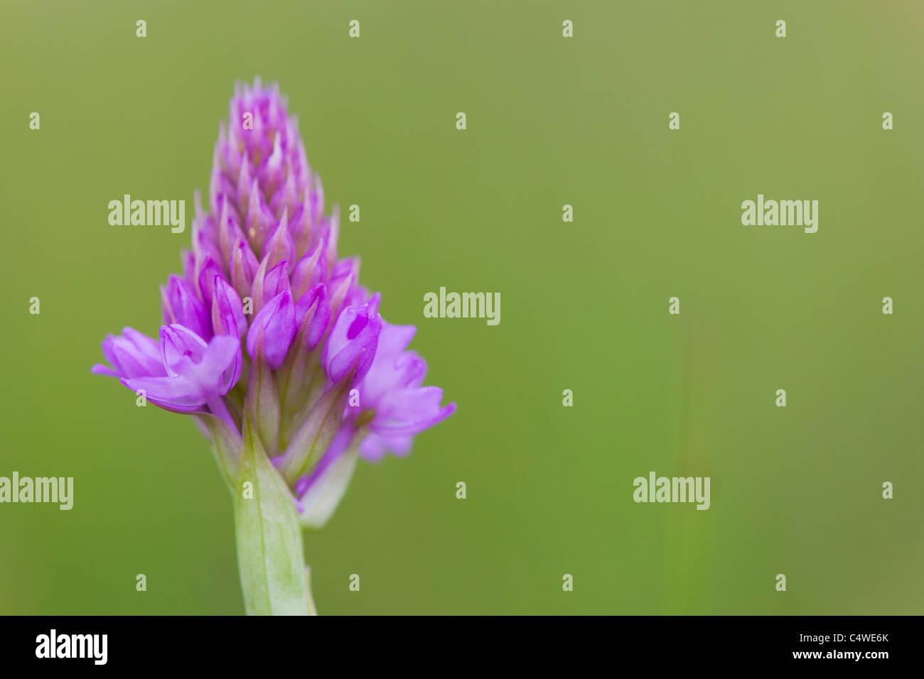 Pyramidal Orchid; Anacamptis pyramidalis; Stock Photo