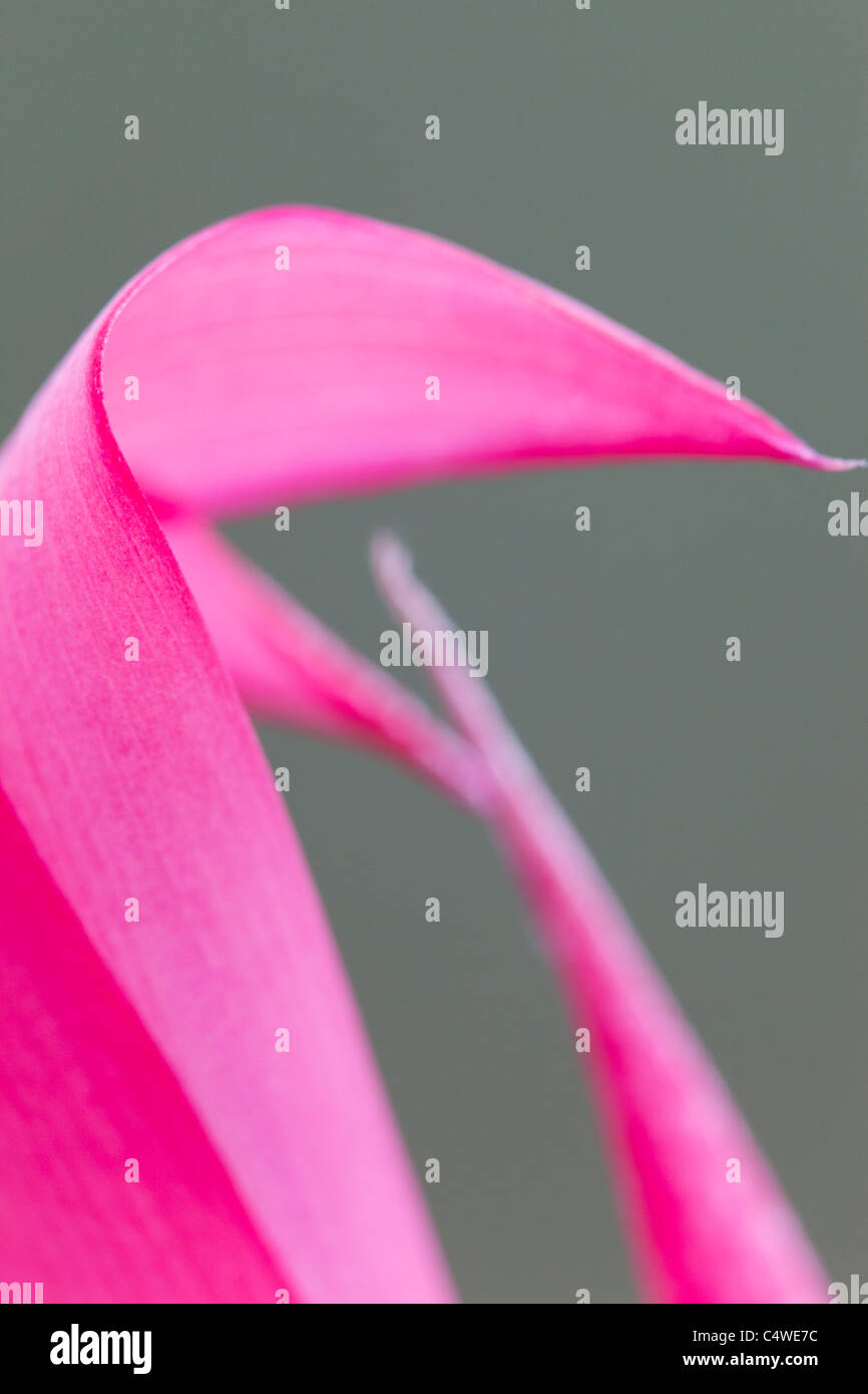 Queen's Tears; Bilbergia nutons; flower detail - Stock Image