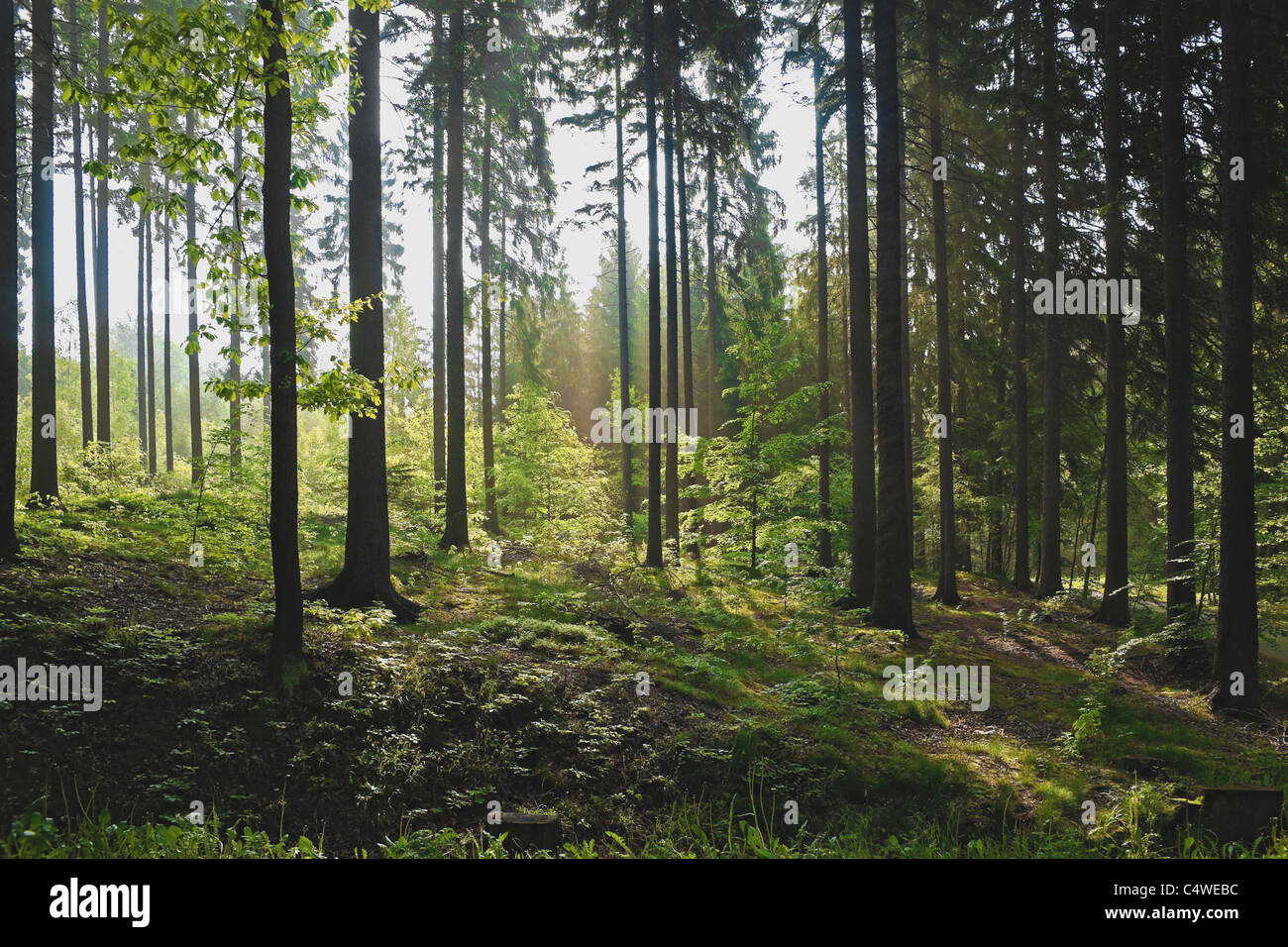 Mischwald im Sommer   Mixed forest in summer - Stock Image