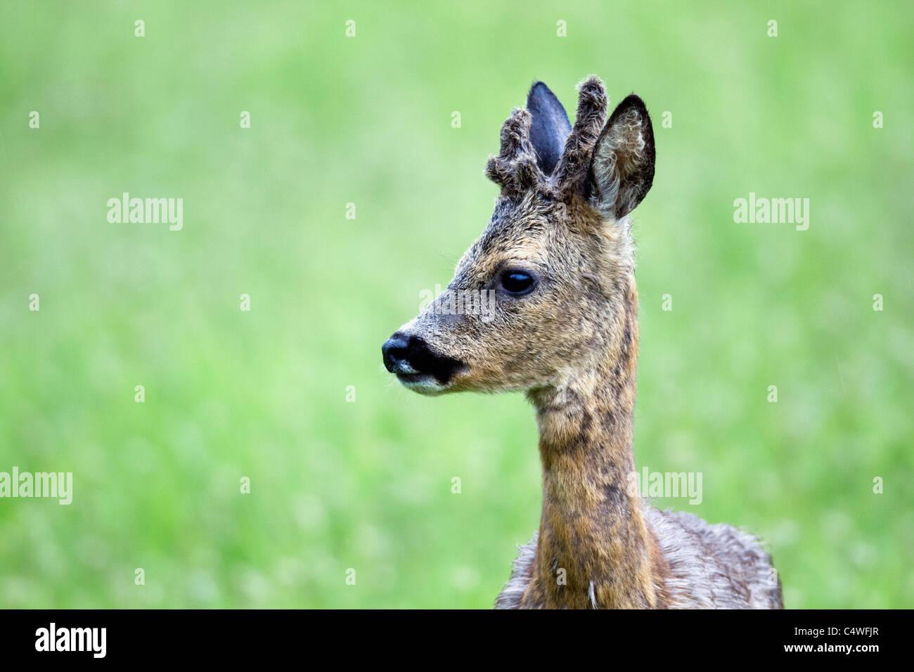 Roe Deer; Capreolus capreolus; Scotland - Stock Image
